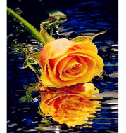 Yellow Rose With Reflection In Water